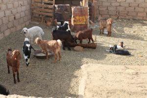 Kein Ackerbau, aber Viehzucht