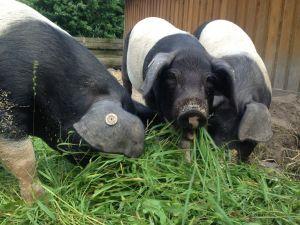 Feine Schweine