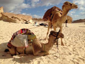 Unsere Kamele. Asfur, 10, und ein fünfjähriges Biest (hinten)